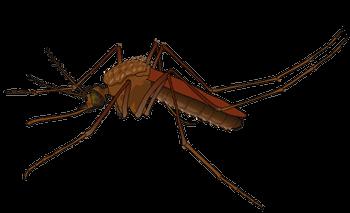 Female Mosquito Pic