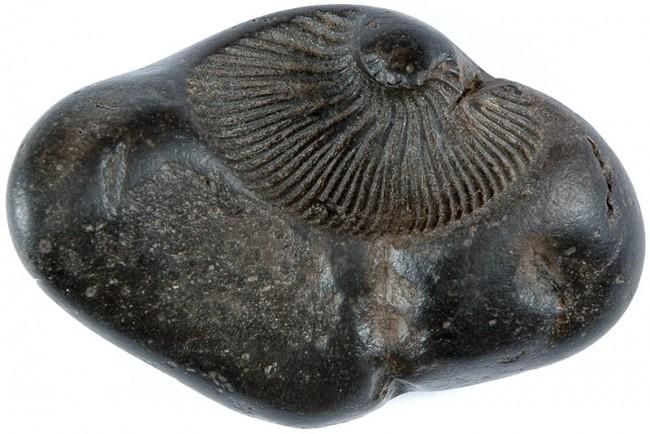 shaligrama stone